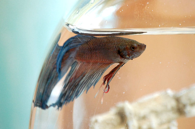 What other types of fish can live with bettas for What kind of fish can live with a betta