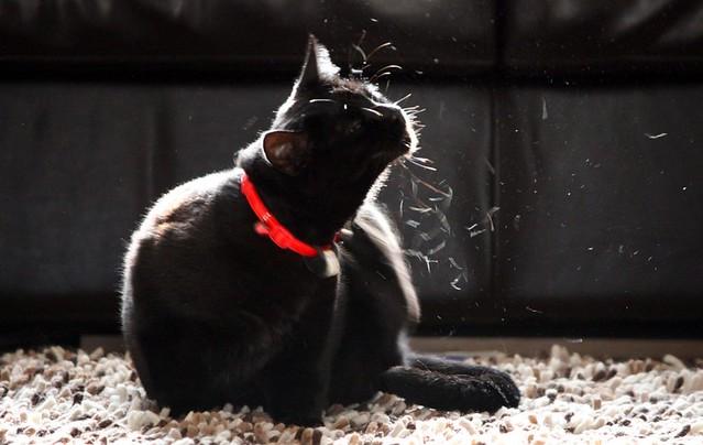 Black cat scratching