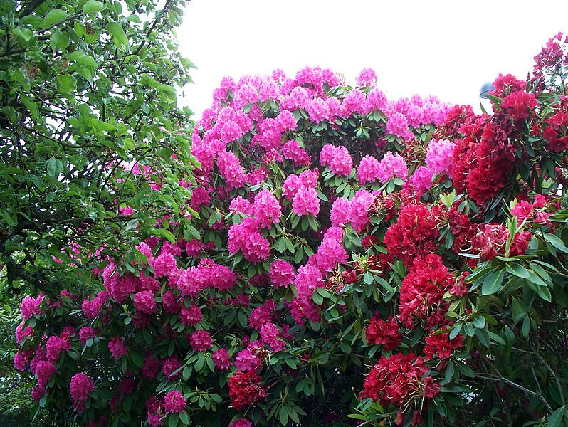 rhododendroncc