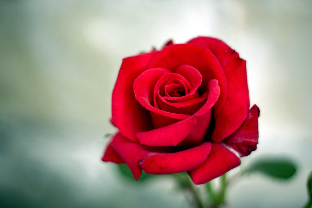 Single Flower Hd Wallpaper Quot Give Me A Red Rose Quot She Cried Quot And I Will Sing You My S