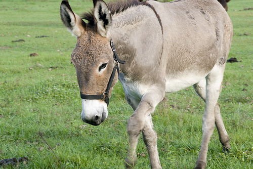 A donkey walks across a field