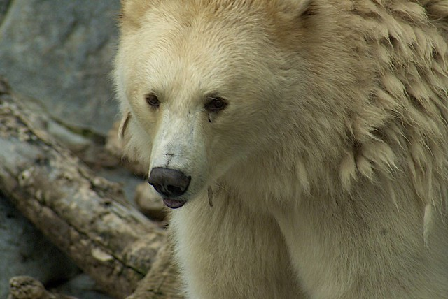 Spirit Bear by  conwest_john on Flickr.