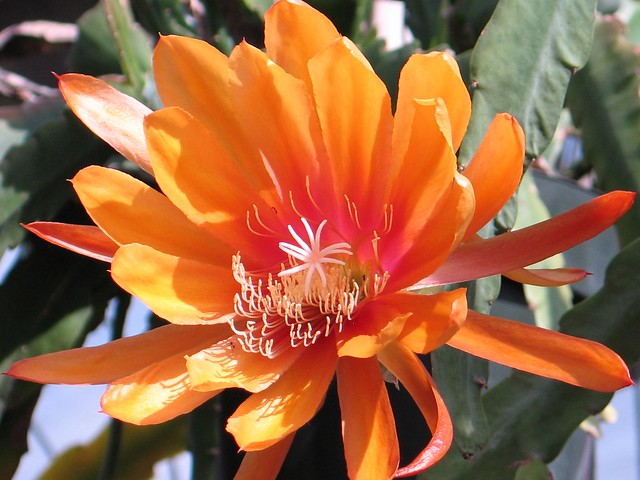 Epiphyllum  Liberty Glow  One of my favorite orange epi