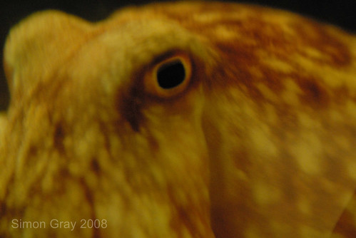 Lesser octopus eye