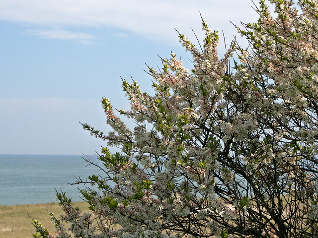 Beach Plum Tree flowering  Flickr  Photo Sharing