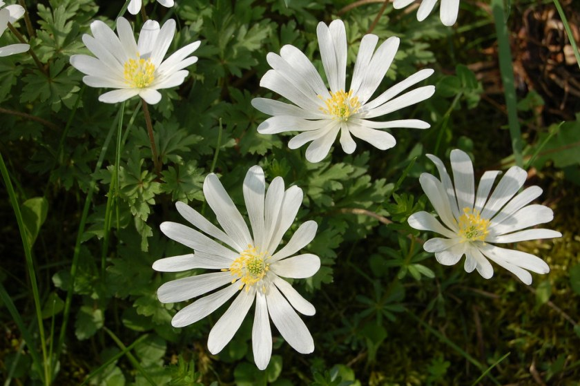 Anemone blanda 'White Splendour' av enbodenumer, på Flickr