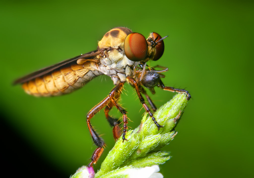 Robber Fly (Holcocephala fusca) Eating a Spider