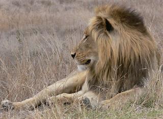 Leeuw Kruger Nationaal Park