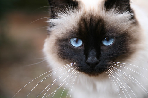 My Birman Cat Prowling