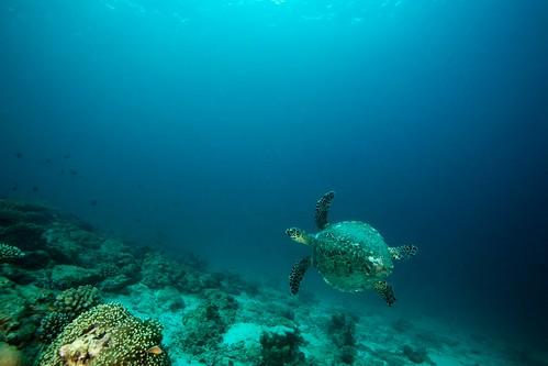 Hawksbill Turtle - Pulau Weh, Indonesia