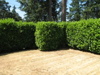 Tall hedge | Flickr - Photo Sharing!