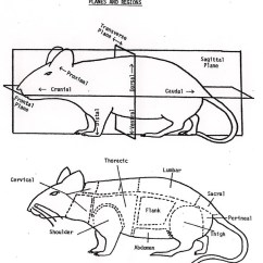 Mouse Dissection Diagram 2001 Dodge Dakota Trailer Wiring Anatomy