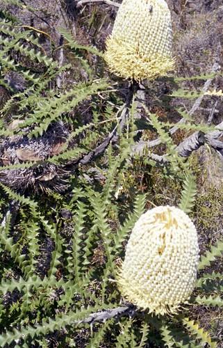 Wildflowers - Banksia