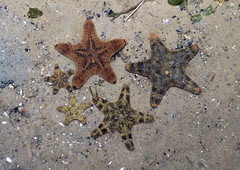 Fabulous sea stars of Changi!