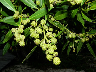 Mangle botón (Conocarpus erectus)