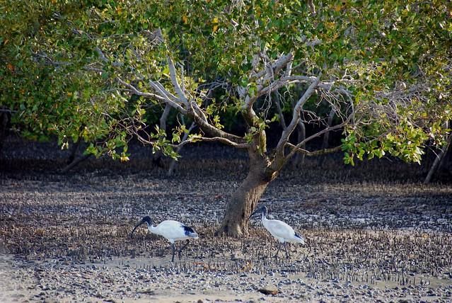 yellow mangrove and white ibis  Flickr  Photo Sharing