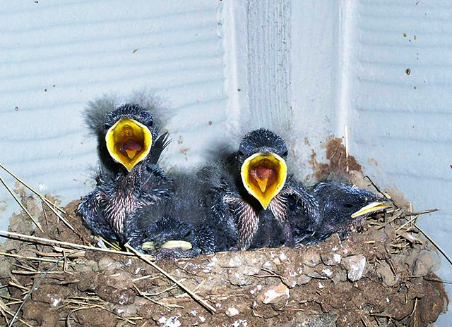 Hungry Baby Birds  Flickr  Photo Sharing