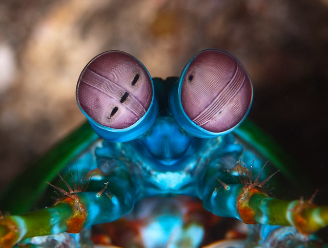 peacock mantis shrimp close-up