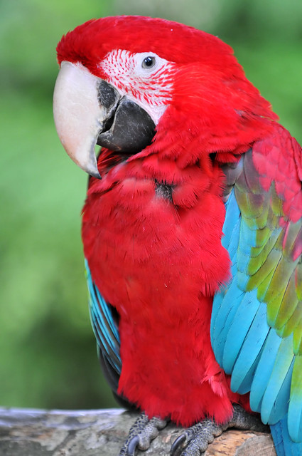 Red and colorful parrot