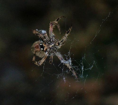 spider excellent.jpg