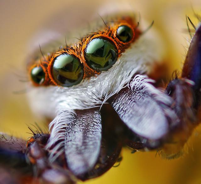 Adult Male Hentzia palmarum Jumping Spider
