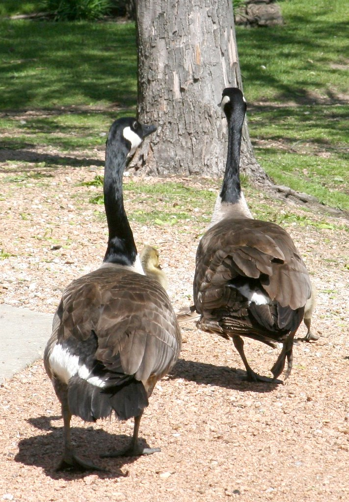 geese from the Marshfield Zoo (Wisconsin)NOT MY PHOTO BUT