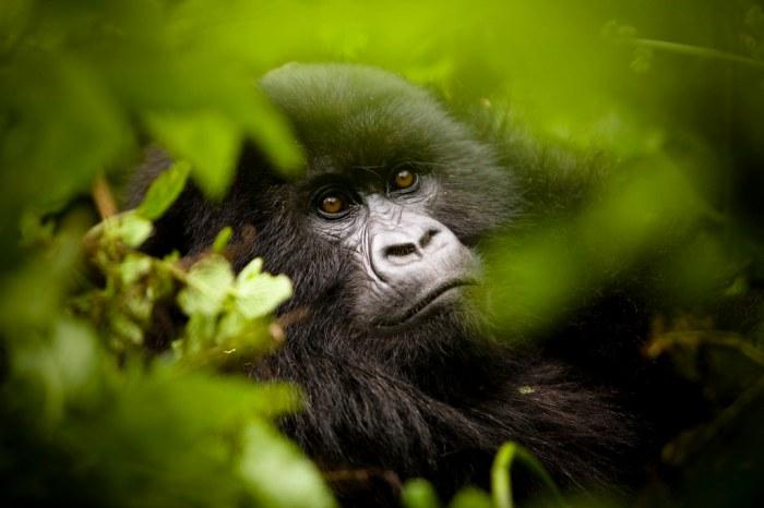 Gorilla Rwanda1
