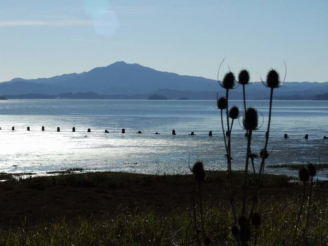 Mt. Tam in the background, dried teasle on the foreground