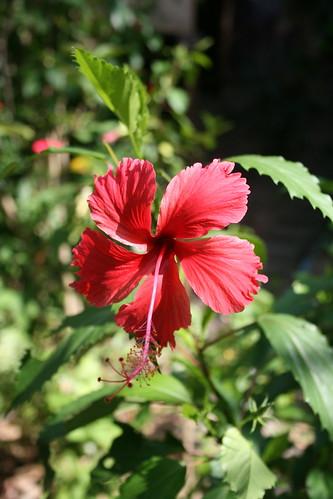 sanctuary hibiscus
