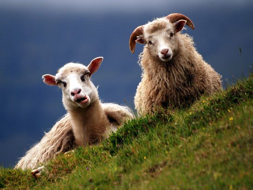 Photo:Faroe / sheep By:polandeze