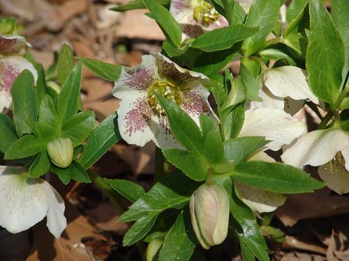 Lenten Rose {Helleborus orientalis }
