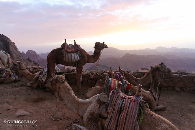 Camels at Mount Sinai