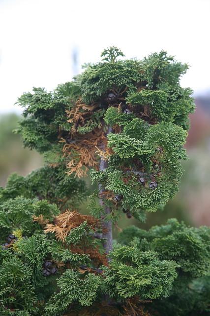 Hinoki False Cypress Chamaecyparis Obtusa Compacta Flickr Photo Sharing