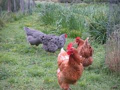 Four hens