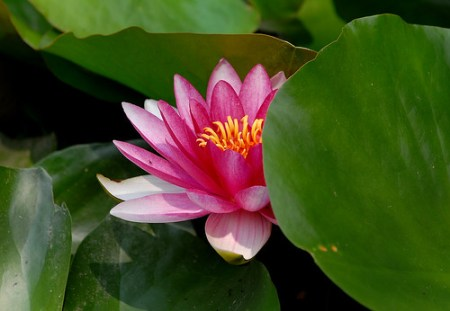 Lily Pad Flowers