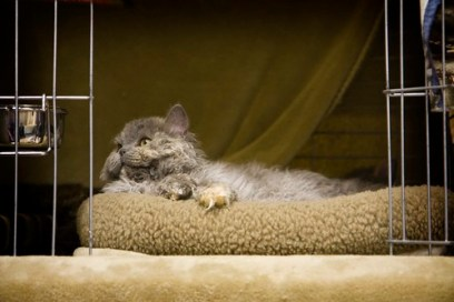 Selkirk Rex cat in his cage