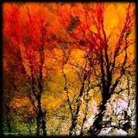 Maple y Rojos