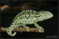 Carpet Chameleon | Flickr - Photo Sharing!