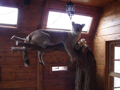 Mountain Lion, stuffed