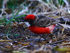 Crimson Chat  Epthianura tricolor Honeyeater australia bird