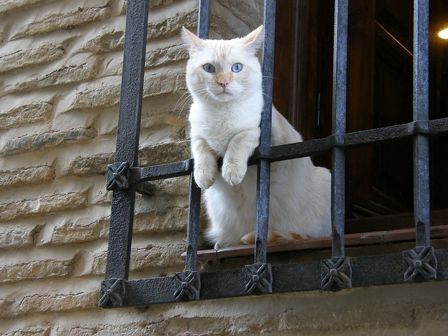 Blue-eyed white cat looking from a window