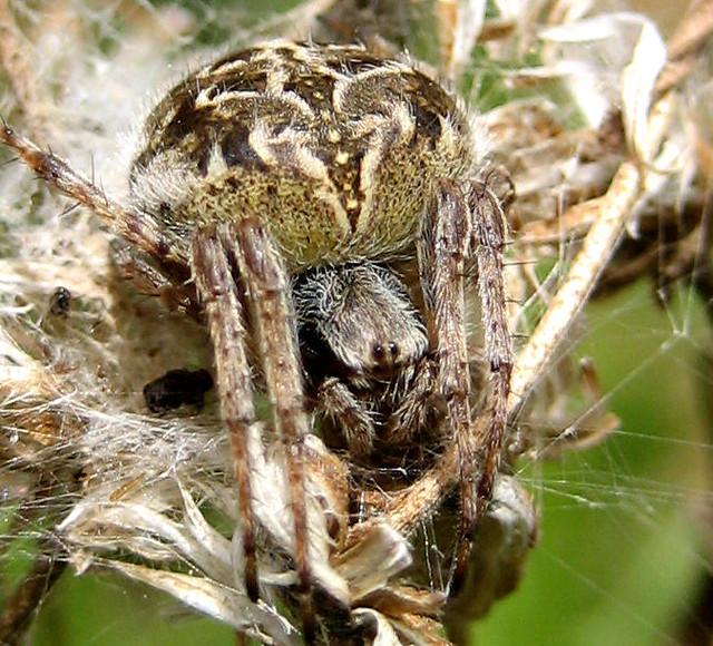 spanish spider howard flickr