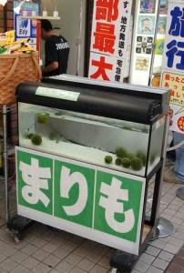Hokkaido's Marimo
