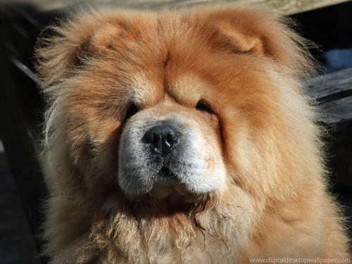 Cute Chow Chow Wallpapers Beautiful Fluffy Chow Chow Dog Flickr Photo Sharing
