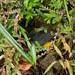 Slate-throated Whitestart (Myioborus miniatus) at nest