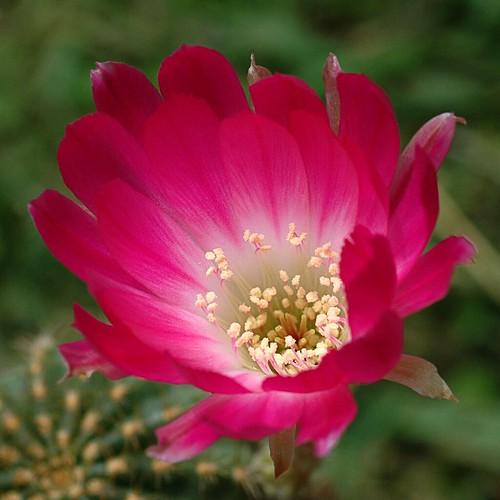A Cactus Flower for Capt. Suresh