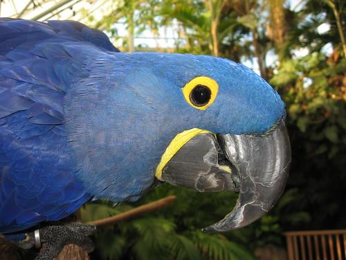 Amy (Hyacinth Macaw)