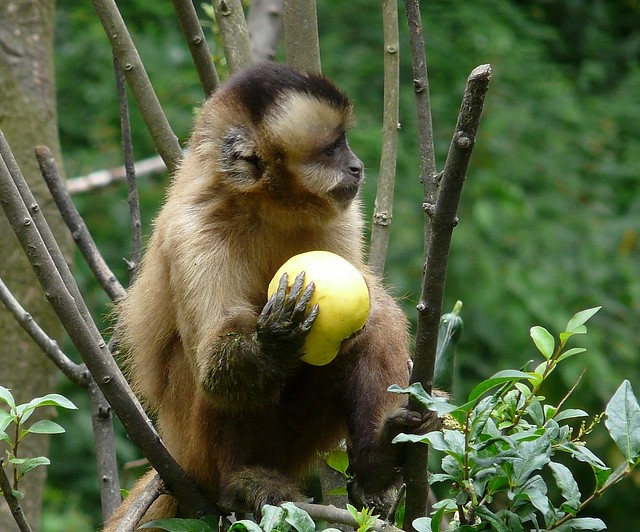 Yellow Cute Wallpaper Monkey Fruit Flickr Photo Sharing