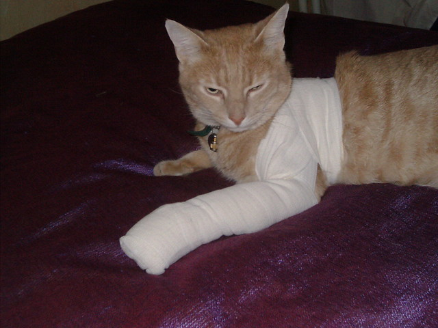 Bandaged Cat  Chico once came back to our flat in a sorry