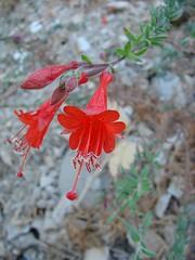 zauschneria - california fuchsia